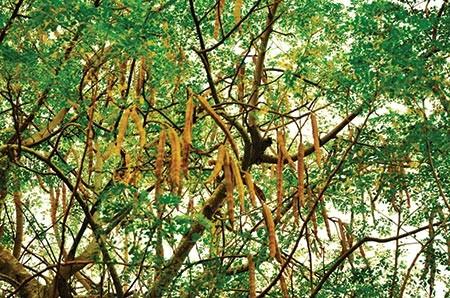 Is the moringa tree the next superfood? | Hub
