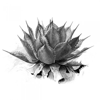 A pencil sketch of the agave plant