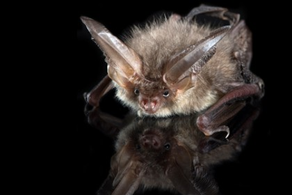 Kill them with cute: The adorable behavior that helps bats catch prey