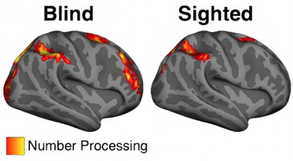 Image shows two brains, one of blind subjects and one of sighted subjects. In the brains of blind subjects, more number processing activity is recorded than in sighted subjects