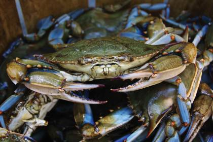 A pile of blue crabs