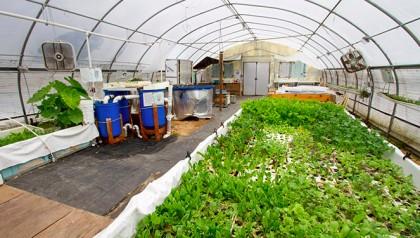 hydroponic plants inside greenhouse