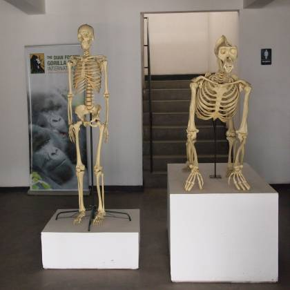Side-by-side skeletons of a gorilla and a human