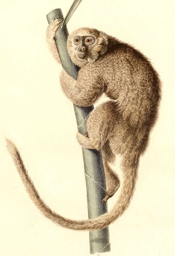 An artist's rendering depicts a furry tan monkey clinging to a tree branch