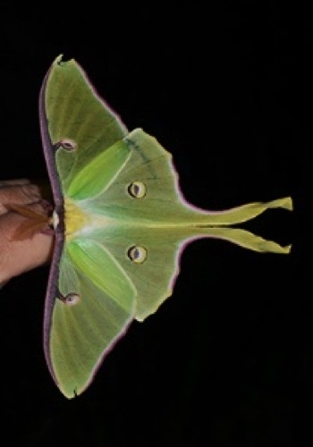 A Luna moth is lime green and has a wing span like a butterfly, but the tail extends out about half the length of the abdomen and twists like a ribbon