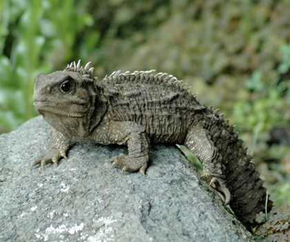 A small green, spiny lizard stands on a rock against a lush green background