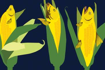 Illustration shows fish as ears of corn