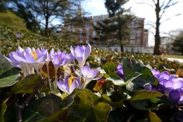 Purple crocuses bloom