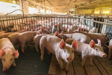 Pigs in confinement in factory farm