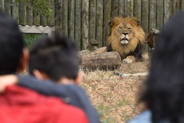 Lion looking out at visitors