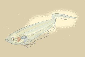 Illustration of knifefish