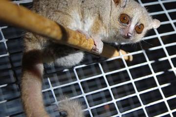 The lemur sits on a bar in a cage. It is small and hunched and has a long curling tail.