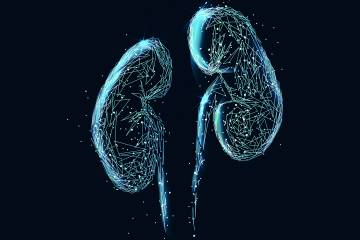 Kidneys illustration