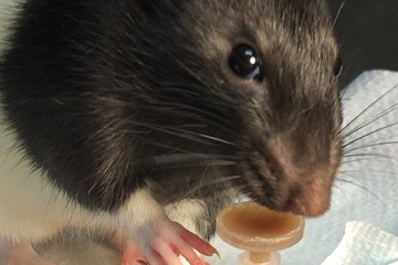 A black and white rat drinks some chocolatey liquid from a small dish