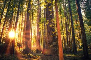 Light from the setting sun filters through the trunks of tall redwoods