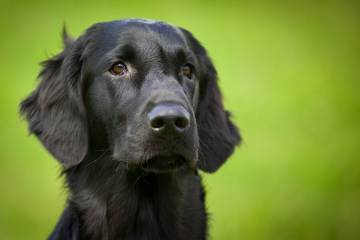 Black-coated retriever
