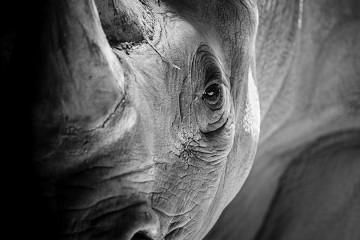 black and white photo of rhinoceros