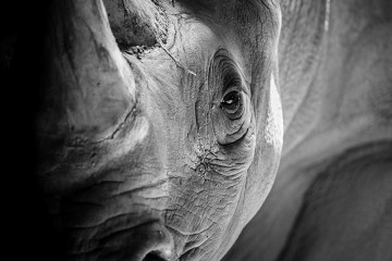 black and white photo of rhinoceros