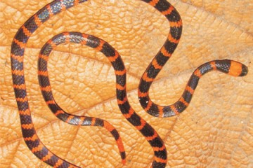 Redtail coral snake