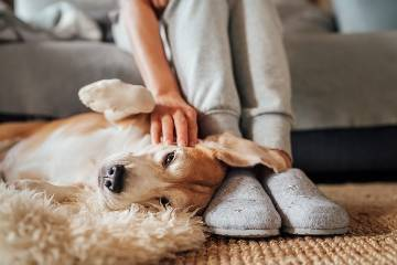 Woman caressing her pet beagle lying on the floor next to her feet
