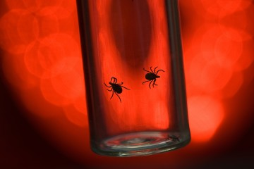 Two ticks in a glass vial silhouetted against a red background light
