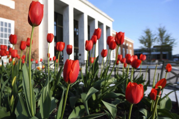 Red tulips grow in front of the Milton S. Eisenhower Library