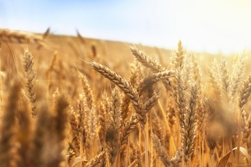 Complete wheat scientists successfully piece together for Drought resistant grass crossword clue