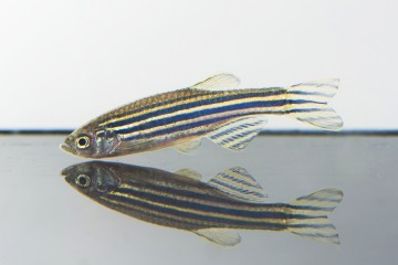 Zebrafish floats in tank just about its own reflection