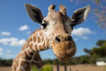 Closeup of a giraffe's head