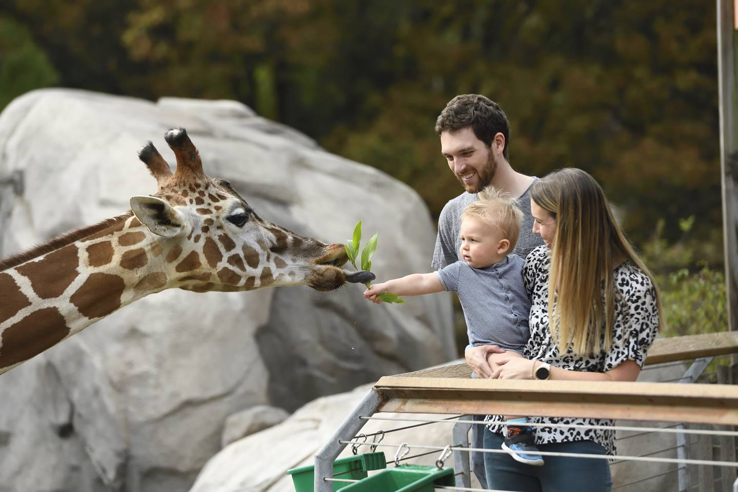 A baby feeds a giraffe