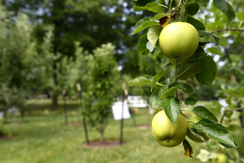 Apples grow on Homewood campus