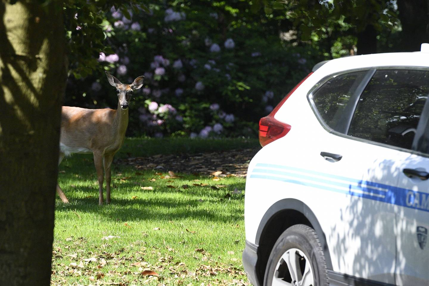 A deer is photographed on campus