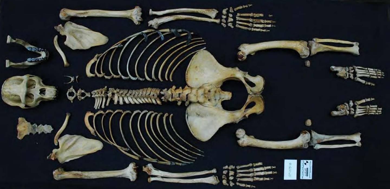 skeleton of an adult gorilla