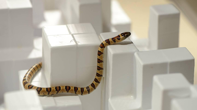 a king snake slithers around step-like objects