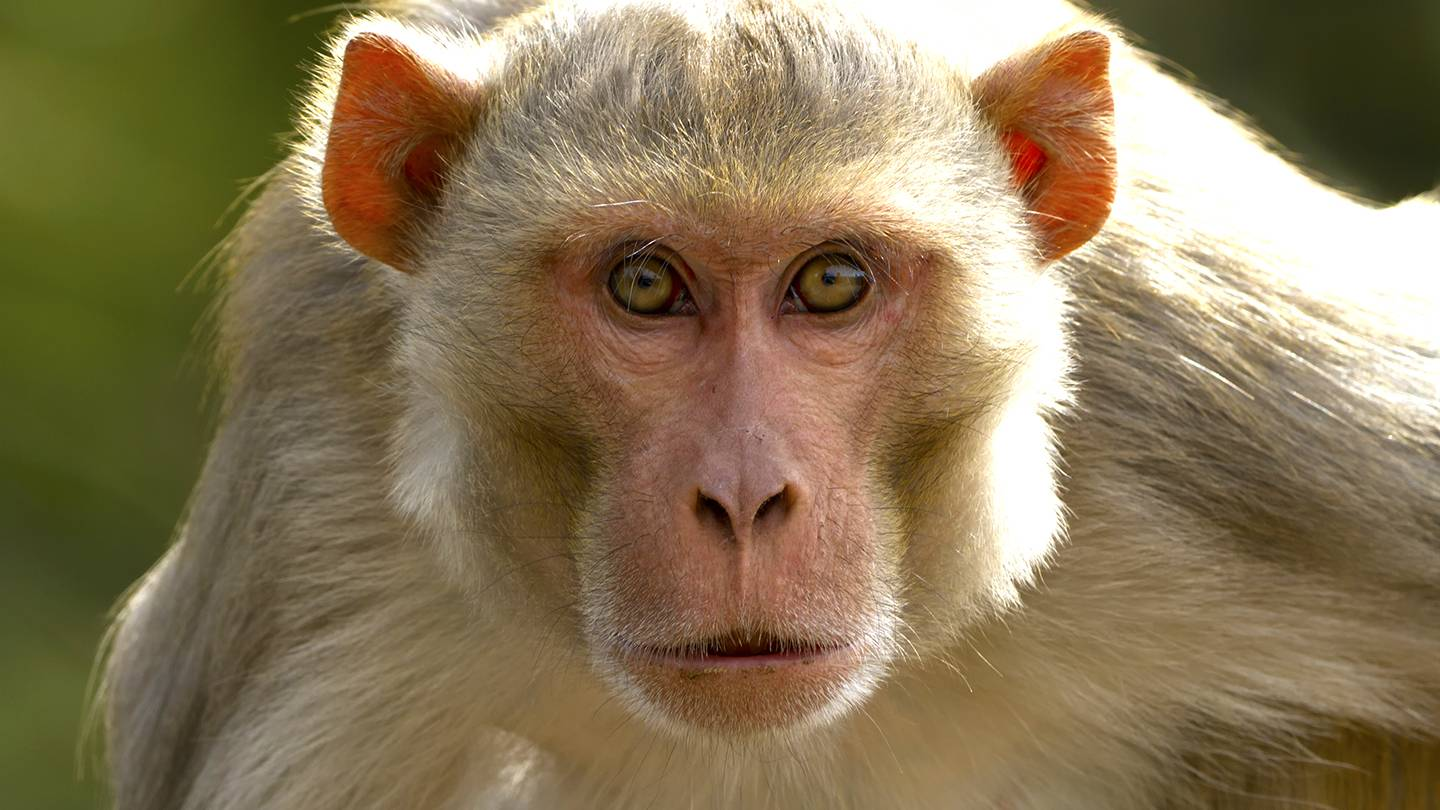 Gambling Monkeys Like Big Bets, Study Finds