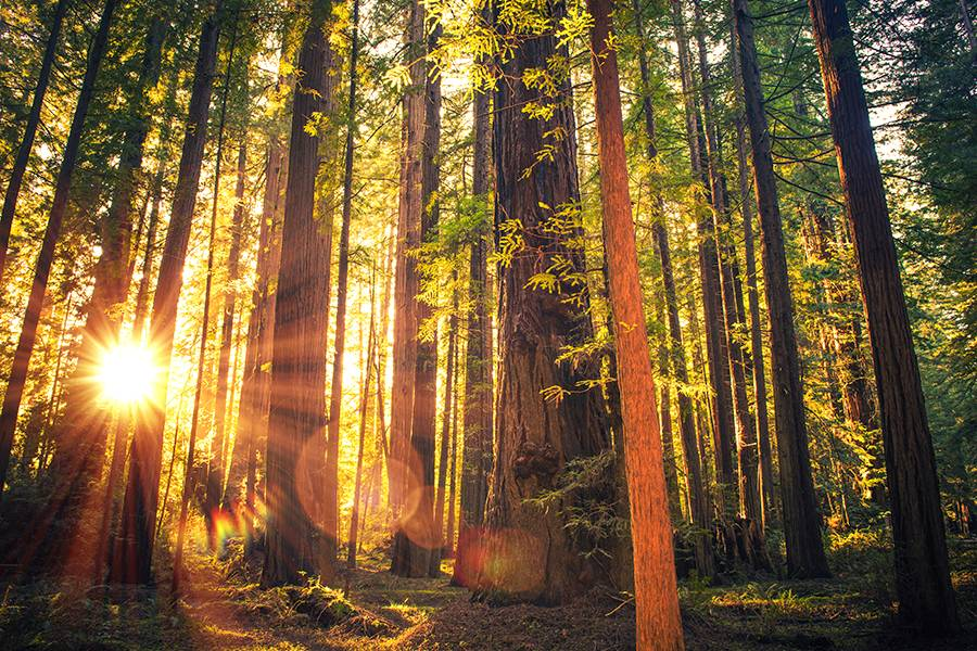 Johns Hopkins joins collaborative effort to sequence redwood, sequoia genomes