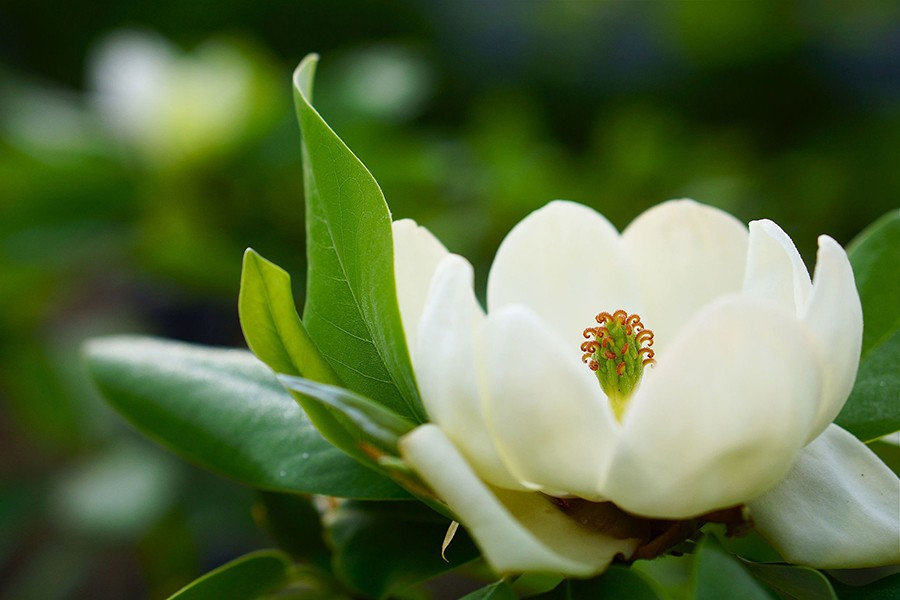 can magnolia help break the link between obesity and breast cancer