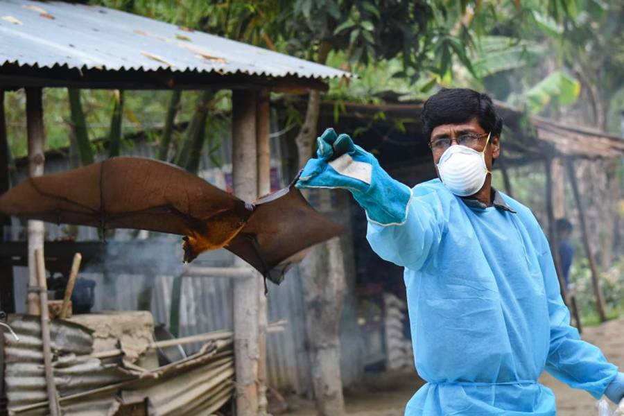 After researchers in Bangladesh collect samples, the fruit bats are fed and returned to the wild