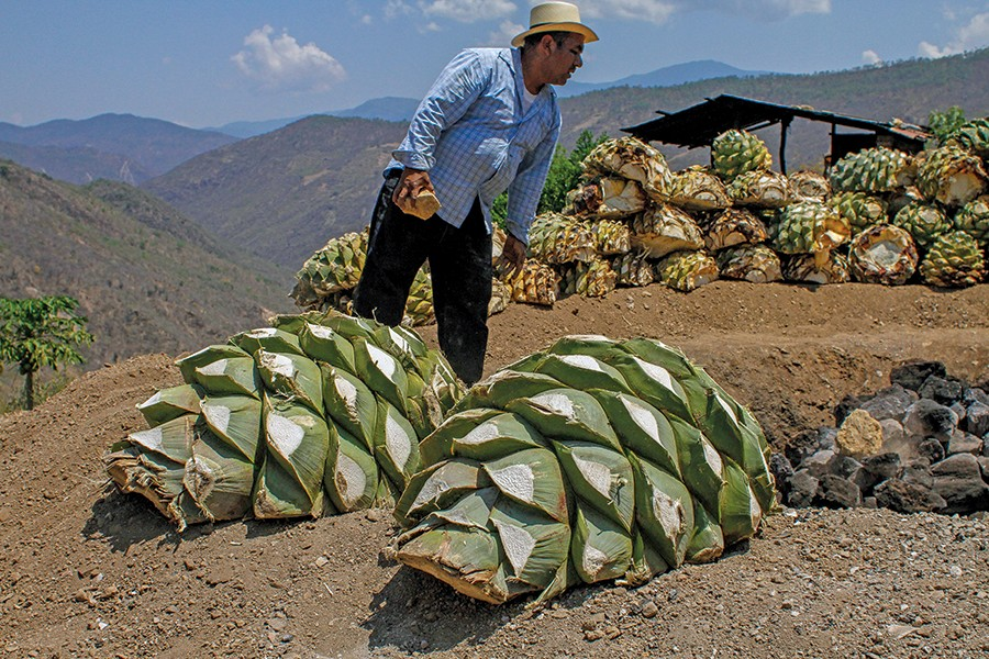 A man shifts rocks around while two partially harvest agave plants, trimmed of their spiky leaves, rest on the ground