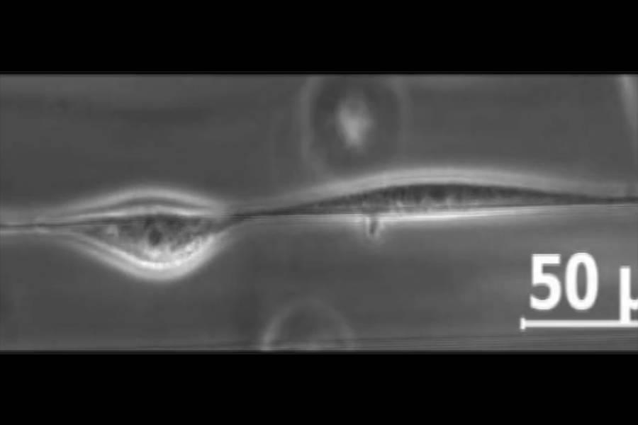 Cells move along a nanofiber