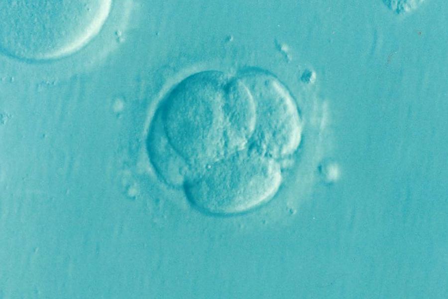 Microscopic image of embryo