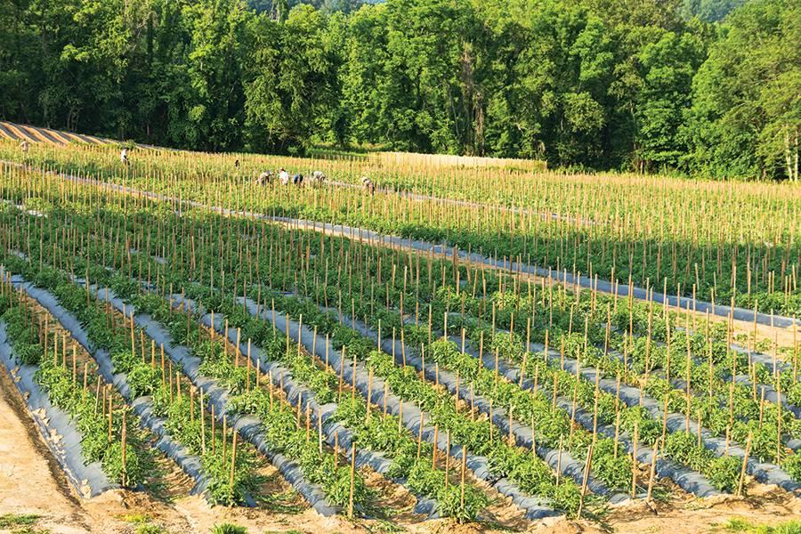 Rows of tomato plants
