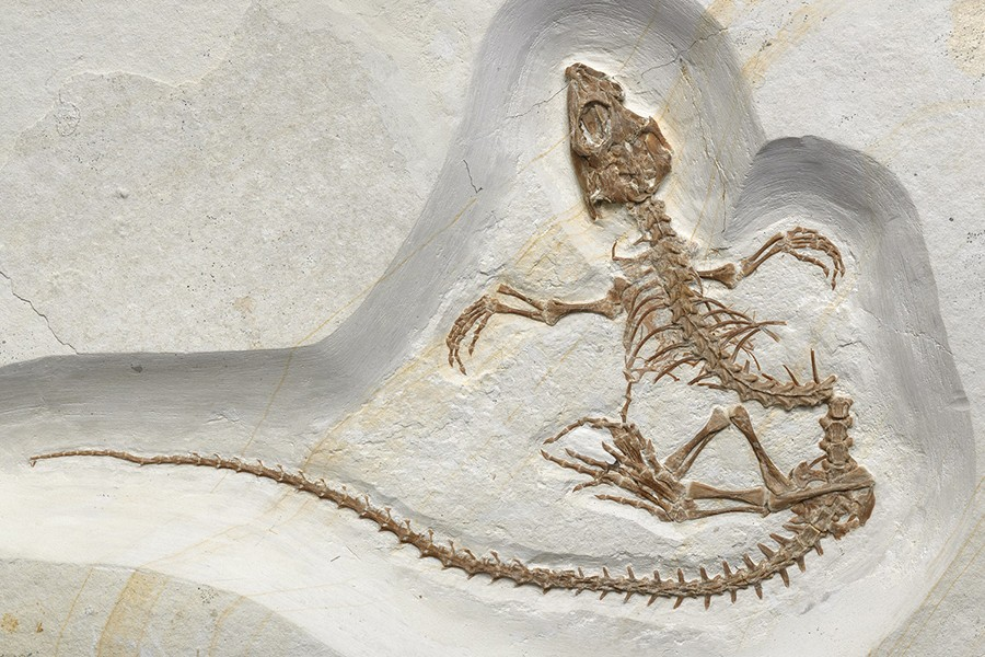 A fossil of a lizard is embedded in limestone and carefully excavated