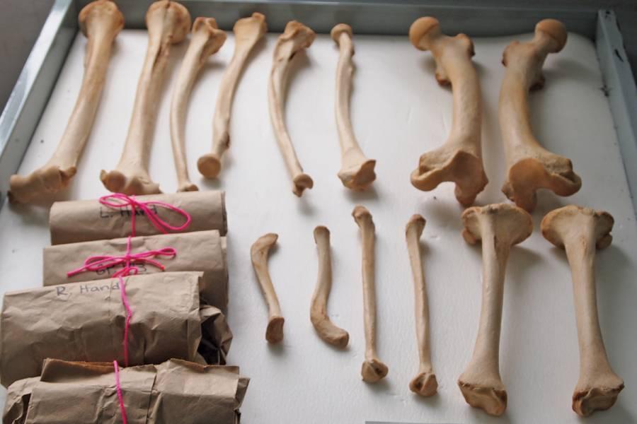 Closeup of a tray of gorilla bones