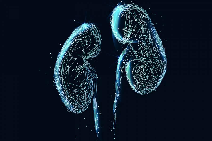 Kidneys illustration