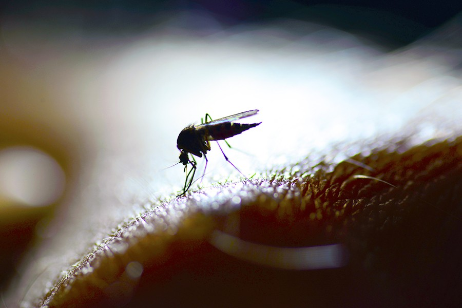 Mosquito gut bacteria may offer clues to malaria control