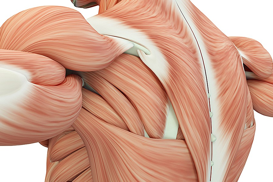 Illustration of the muscles in the back and shoulders