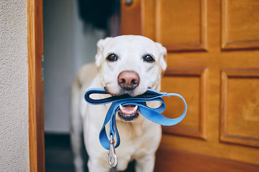 Cute dog with a leash in his mouth, ready to go for a walk