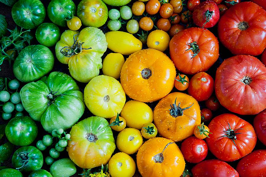 Multicolored tomatoes